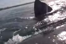 O balena ridica un caiac! Imagini uluitoare!