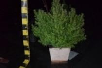 Plantatie de cannabis, descoperita de politisti si procurori