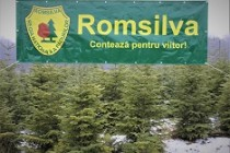 Romsilva oferă spre vînzare peste 65.000 de pomi de Crăciun