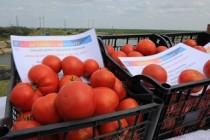 Peste 50.000 tone de roșii proaspete au fost livrate pe piață de către beneficiarii programului de tomate românești în 2017