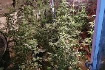 Brăila | Un cultivator de canabis a fost prins
