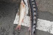 Poliția combate braconajul la pește