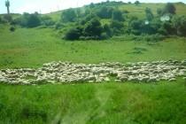 Crescătorii de ovine pot valorifica lâna în 20 centre de colectare localizate pe întreg teritoriul țării