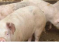 ANSVSA: Evoluția Pestei Porcine Africane, 14 noiembrie 2018