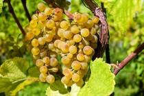 APIA: Termen depunere cereri plată pentru măsura de asigurare a recoltelor de struguri pentru vin