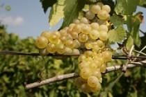 Depunere cereri de plată pentru sprijinul privind asigurarea recoltei de struguri pentru vin în perioada 2019-2020