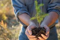 Romsilva a plantat aproape 22 milioane puieți forestieri