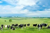 ANSVSA: Controale în centrele de colectare a bovinelor destinate exportului în Turcia